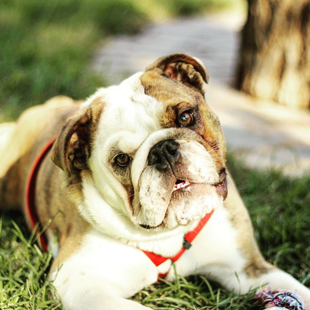Click The Following Link Http Www Mobilehomemaintenanceparts Com Dogcaresupplies Php To Learn About The Supplies N Bulldog Bulldog Puppies English Bulldog
