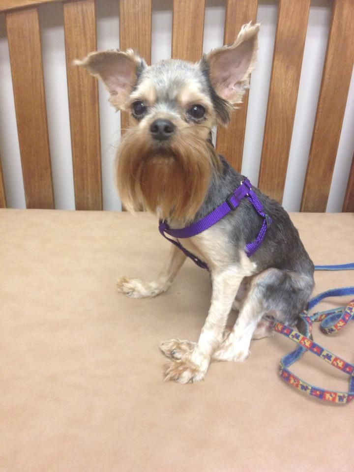Adopt Clooney On Yorkie Dogs Yorkie Yorkshire Terrier Dog
