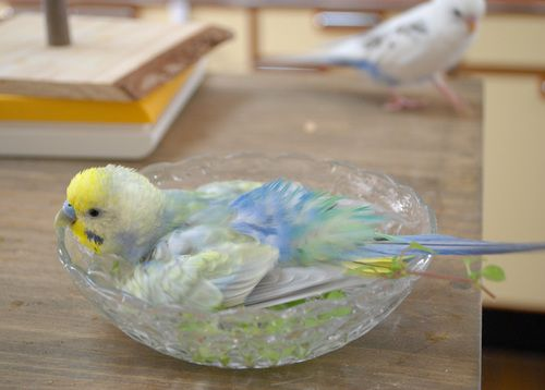 My Lola Loves Taking Her Little Baths Like These Budgies Bird