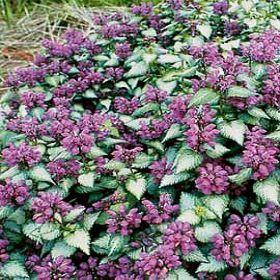 lamium 'purple dragon' shade perennial more drought ...