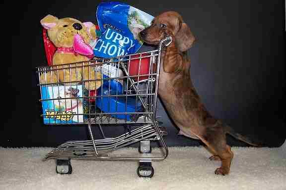 Cute Dachshund Puppy Shopping Dapple Dachshund Dachshund Love