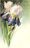 Flowers688. Irises