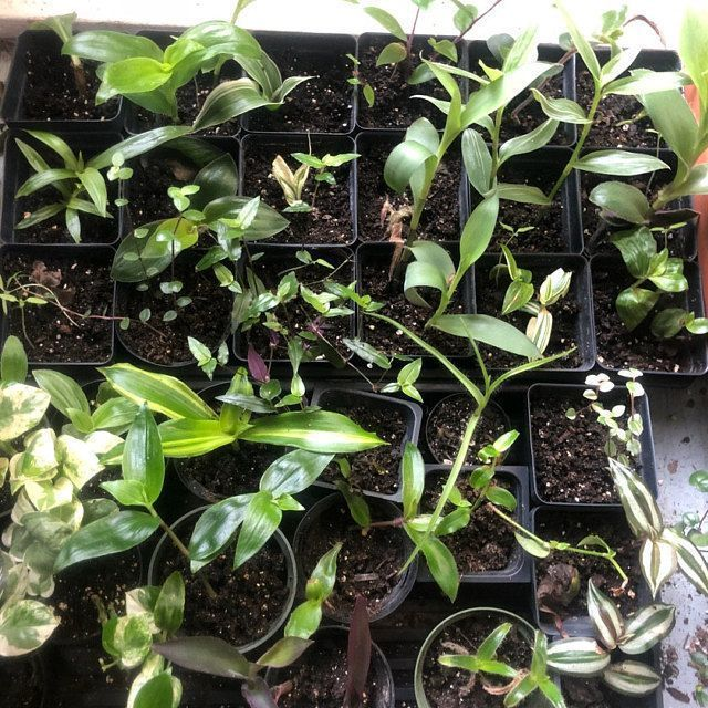 31 different named tradescantia cuttings wandering jew | Etsy #wanderingjewplant 31 different named tradescantia cuttings wandering jew | Etsy #wanderingjewplant 31 different named tradescantia cuttings wandering jew | Etsy #wanderingjewplant 31 different named tradescantia cuttings wandering jew | Etsy #wanderingjewplant 31 different named tradescantia cuttings wandering jew | Etsy #wanderingjewplant 31 different named tradescantia cuttings wandering jew | Etsy #wanderingjewplant 31 different n #wanderingjewplant