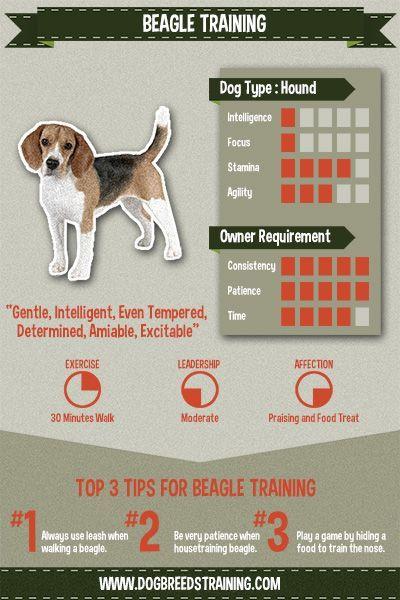 Kings Beagle Training Beagle Beagle Puppy Beagle Dog