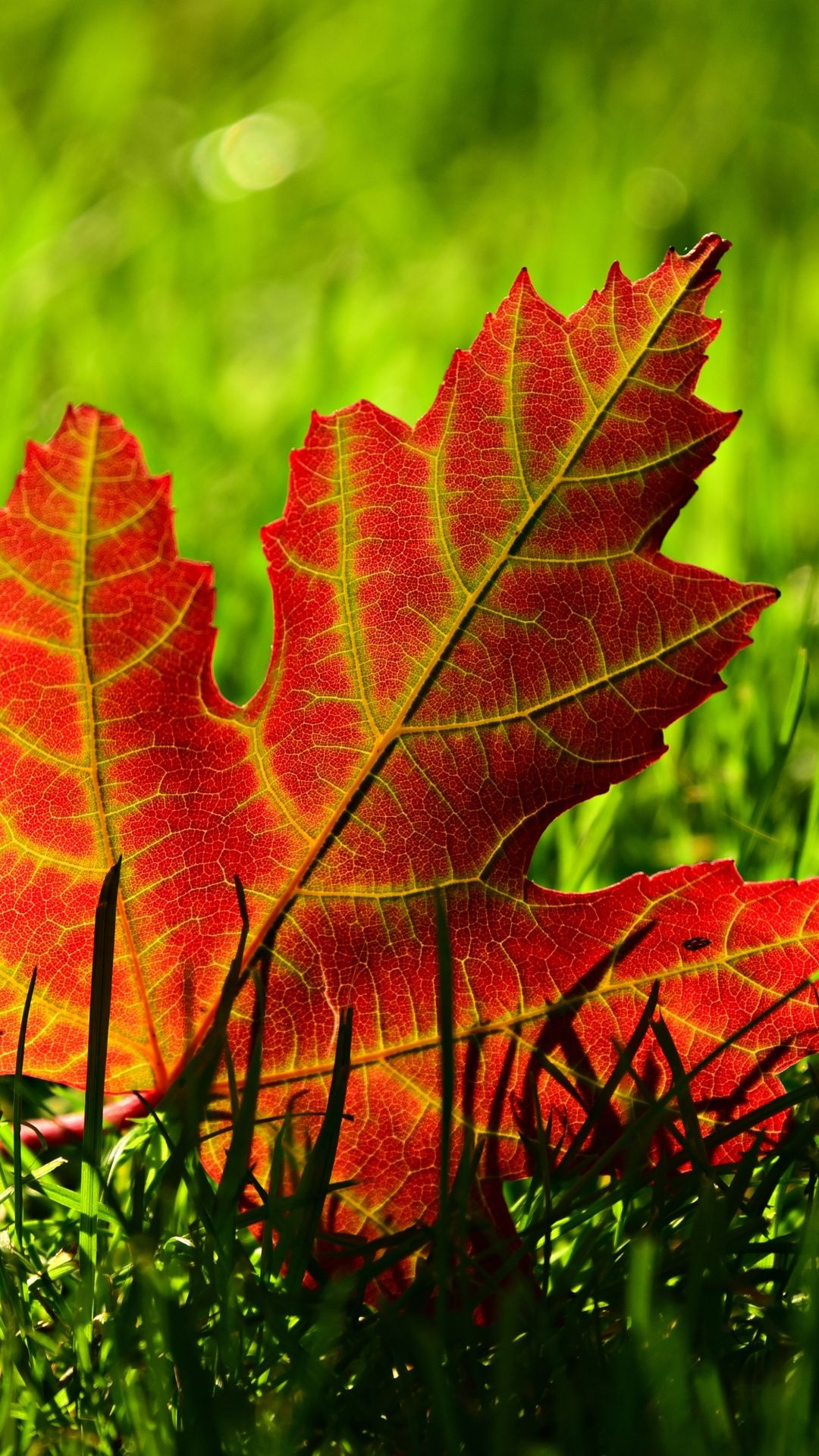 Frosty Fall Leaves Wallpaper Maple Leaf And Grass Close Up 1080x1920 Wallpaper