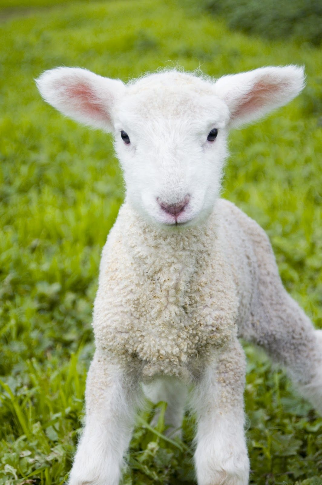 Spring lamb - spring would not be spring without a little lamb ... for baby lamb in spring  34eri