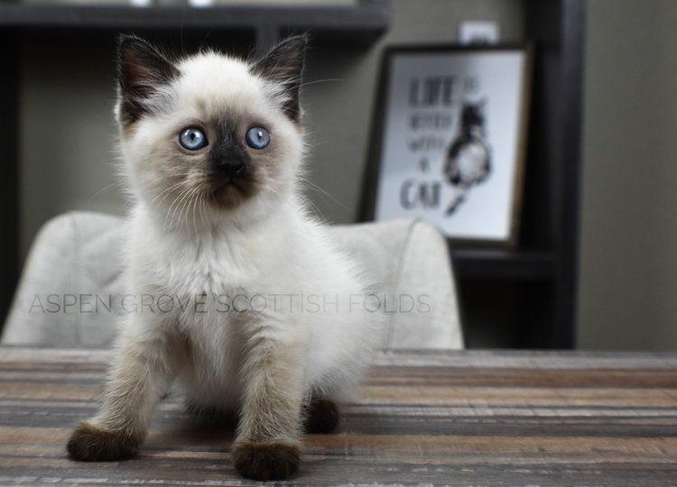 Kitten pricing aspen grove scottish folds in 2020