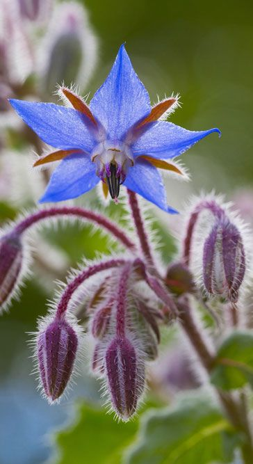 Borage, a beautiful self-seeding plant with blue flowers and fuzzy heads