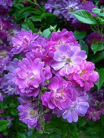 Multiflora Rambler Origin Schmidt 1909 Parentage Crimson Rambler X Erinnerung An Brod Color Violet Lila Beautiful Flowers Flower Garden Purple Roses