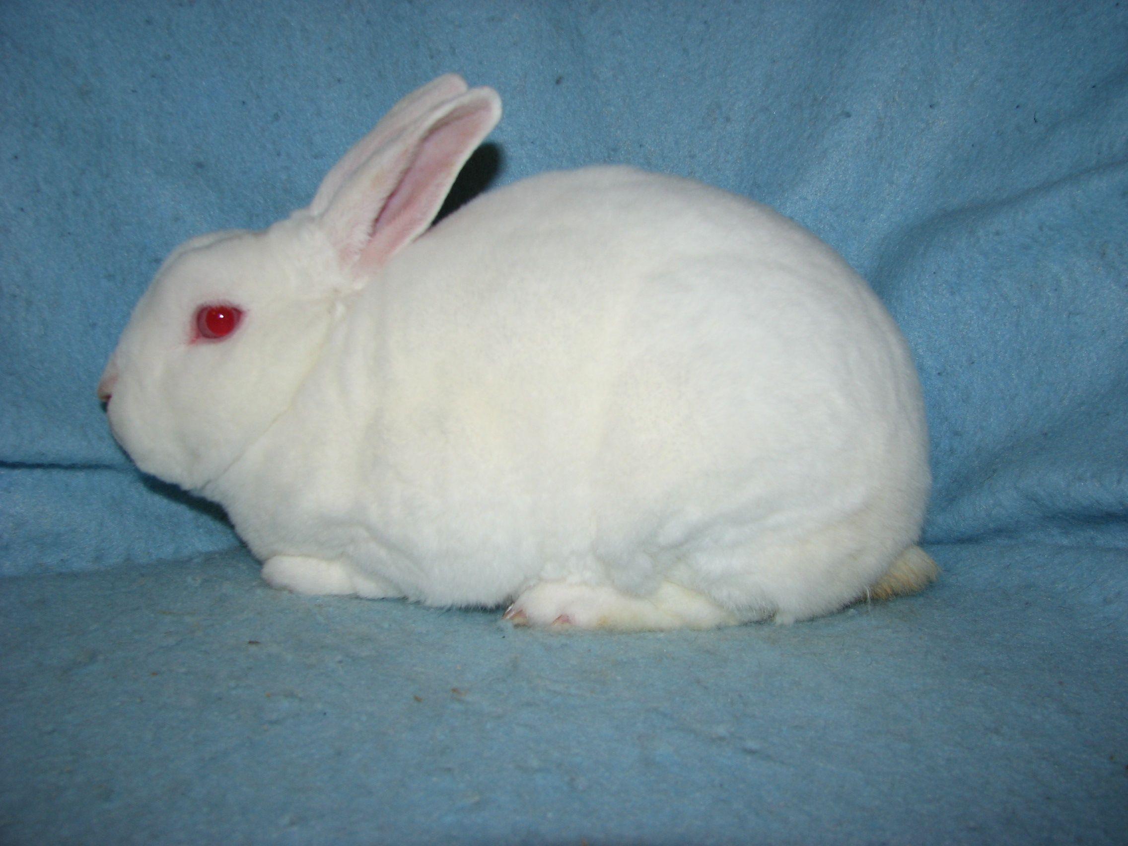 Foxaway RabbitsMy Mini Rex Herd Herding, Rabbit, Rex
