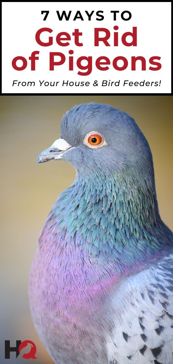8 Ways to Get Rid of Pigeons From Your House (& Bird