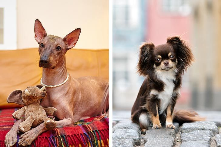 An Introduction To Mexican Dog Breeds The Xoloitzcuintli And