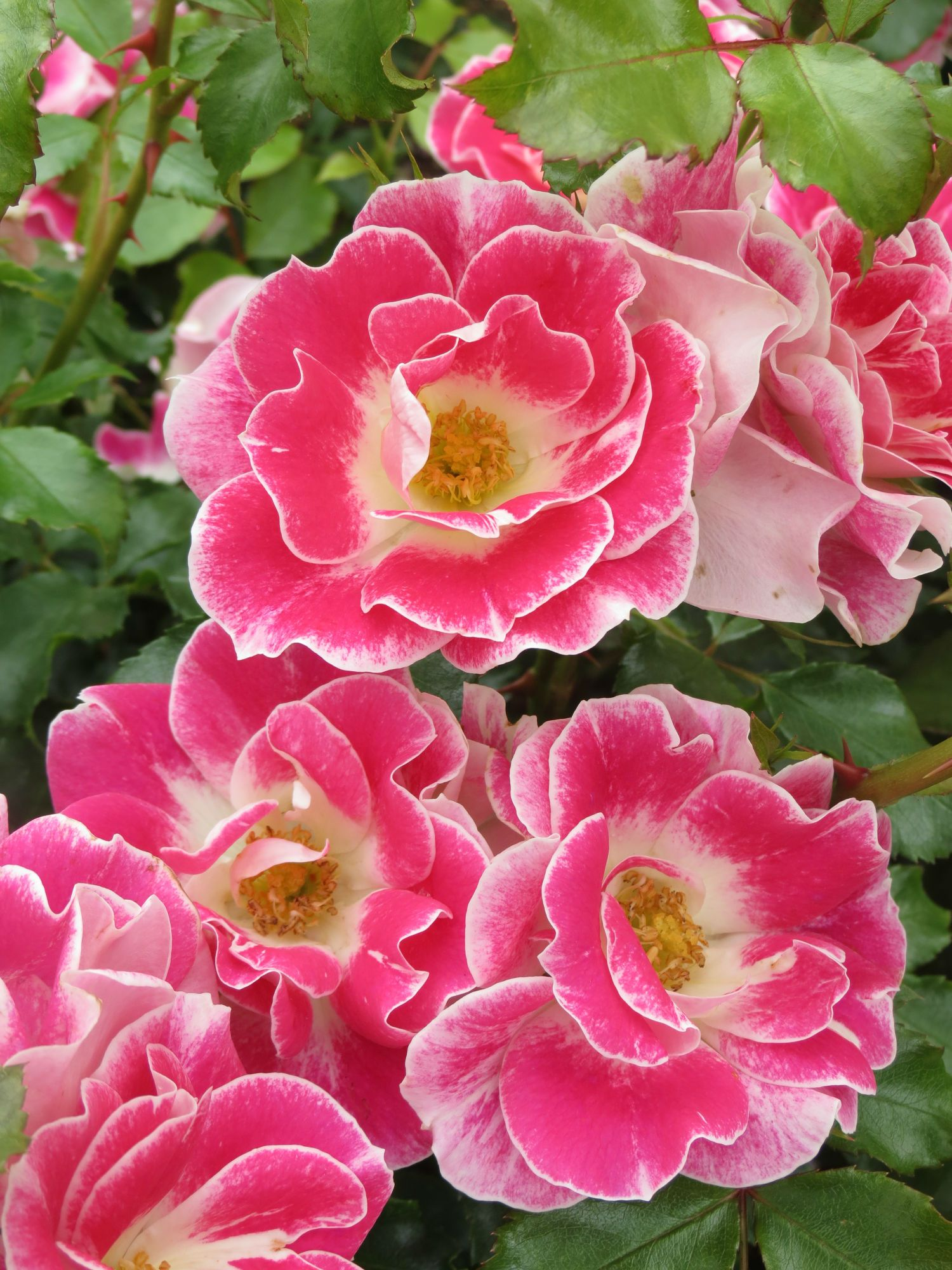 New Zealand Rose of the Year 2014 Rose, Flower garden