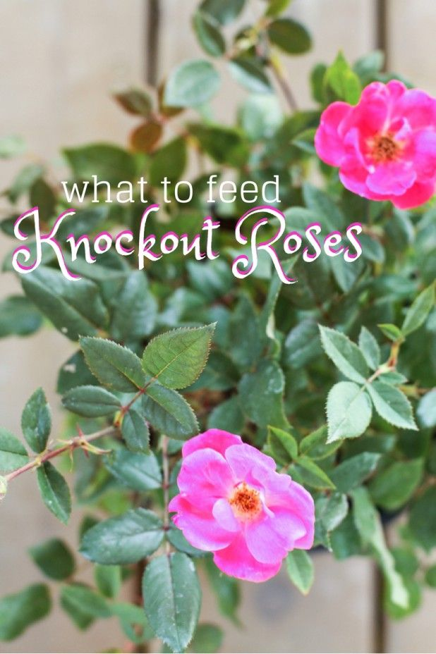 Roses In Garden: What I Feed My Knockout Roses