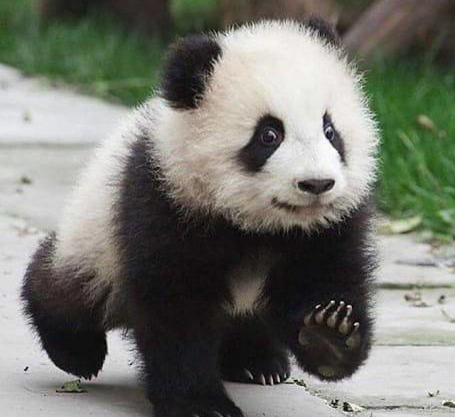 #panda #panda #ipanda #pandababy #pandaman #pandabear # ...