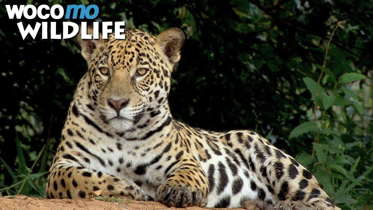 Secret Brazil Jaguar The King Of The Pantanal Animal Documentary Part 1 2 Youtube Pantanal Animals Documentaries
