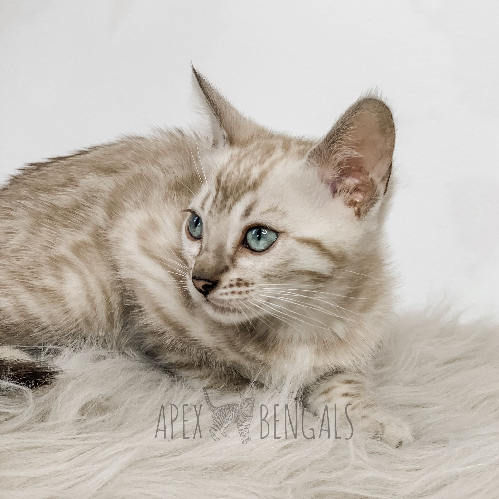 Snow Bengal Kitten from Apexbengals apexbengals (With