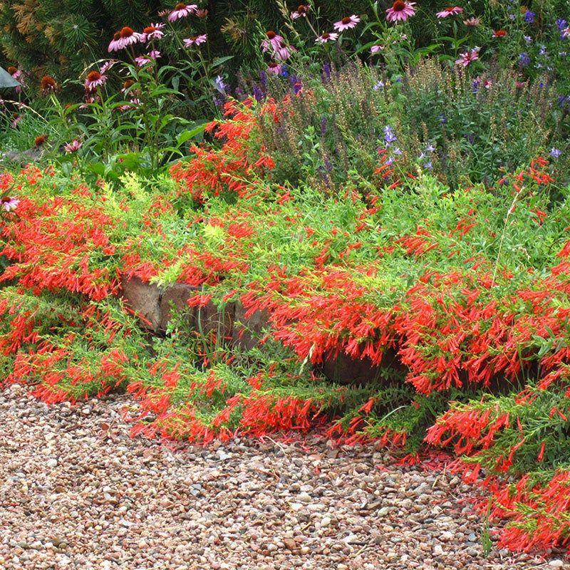Orange Carpet Creeping Hummingbird Trumpet Zauschneria High Country Gardens Ground Cover Plants Plants