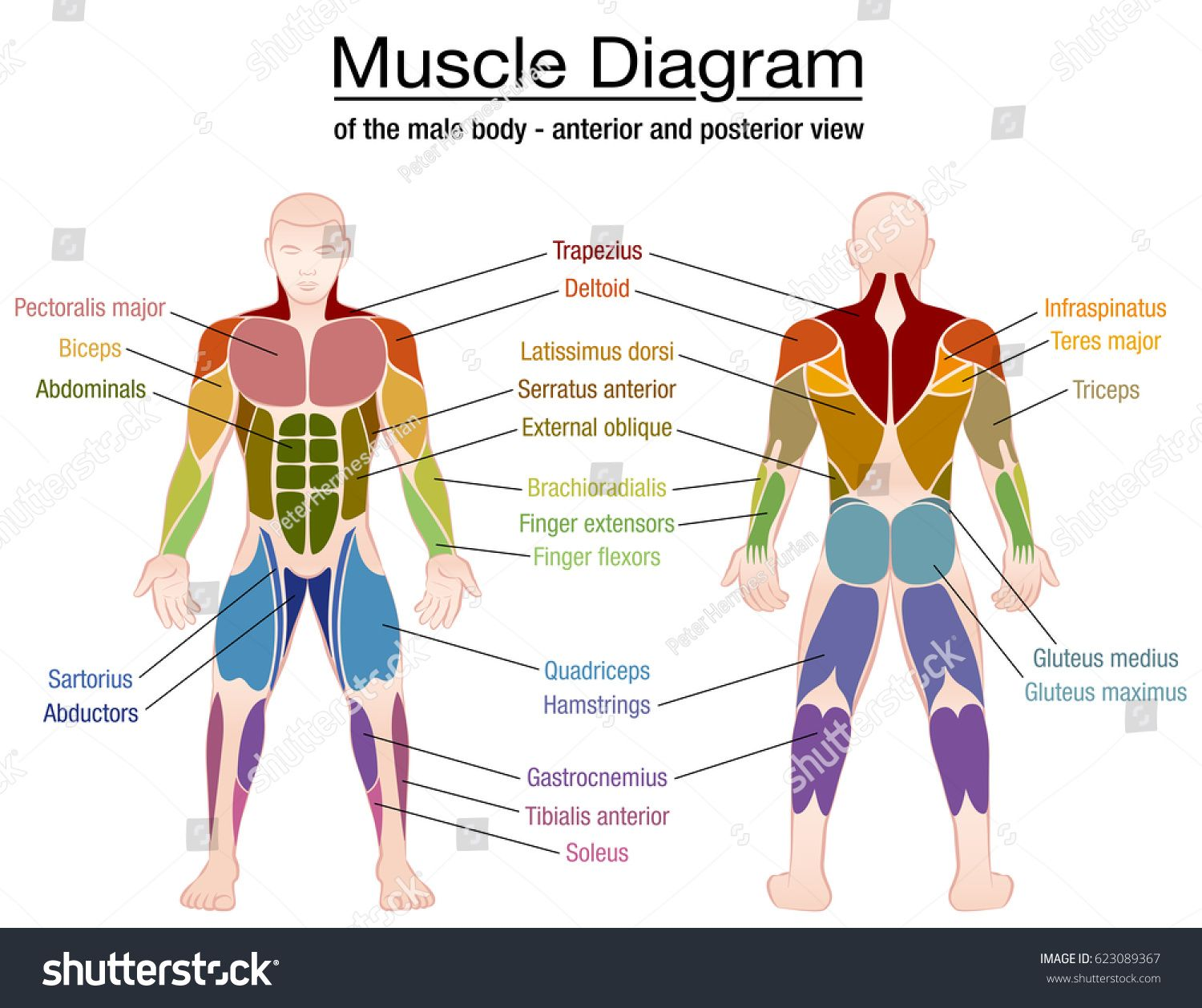 Muscle diagram - most important muscles of an athletic male body ...