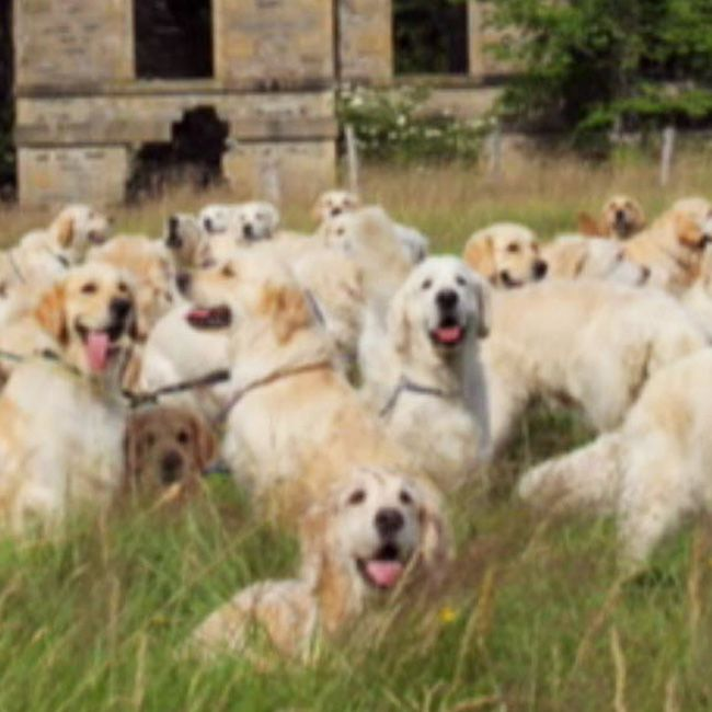 A Record Breaking 222 Golden Retrievers Assembled At The