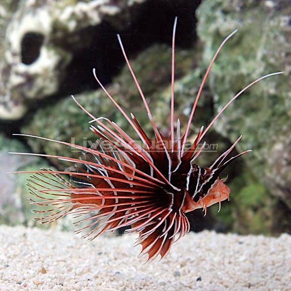 Radiata Lionfish Lion Fish Saltwater Aquarium Fish Aquarium Fish