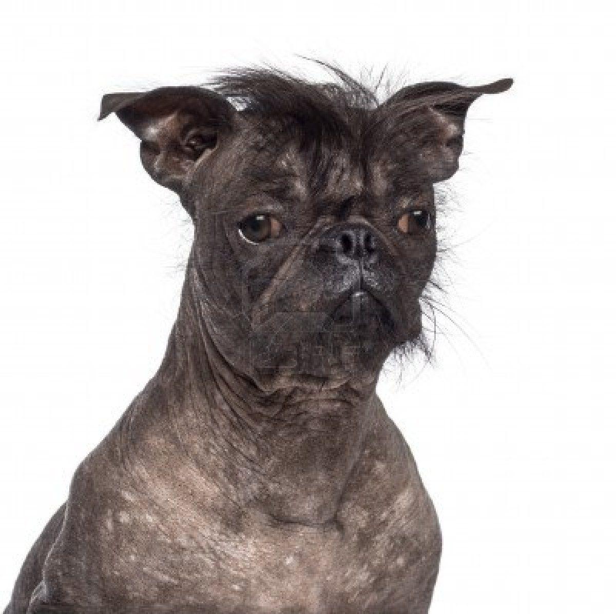16773984 Hairless Dog Mix Between French Bulldog And Chinese