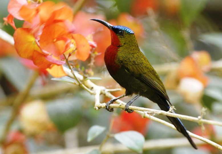 Burung Kolibri Gunung Aethopyga Eximia Burung Kolibri Burung Habitat