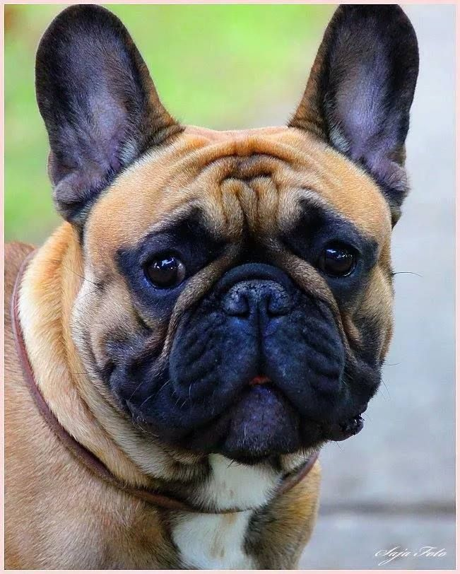 Kennels Bulldog French Bulldog Frenchie Bulldog