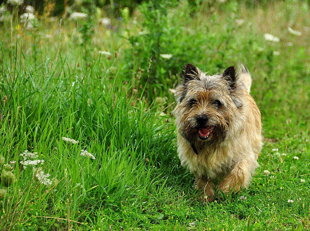 Cairn Terrier Cairn Terriers Ct Cairn Terrier Unusual Dog
