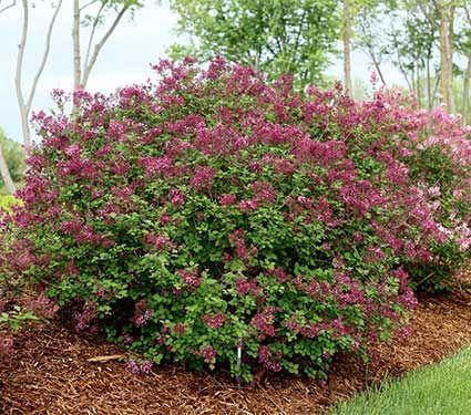 Syringa Bloomerang Dark Purple Reblooming Lilacs Plants Purple Plants Planting Shrubs