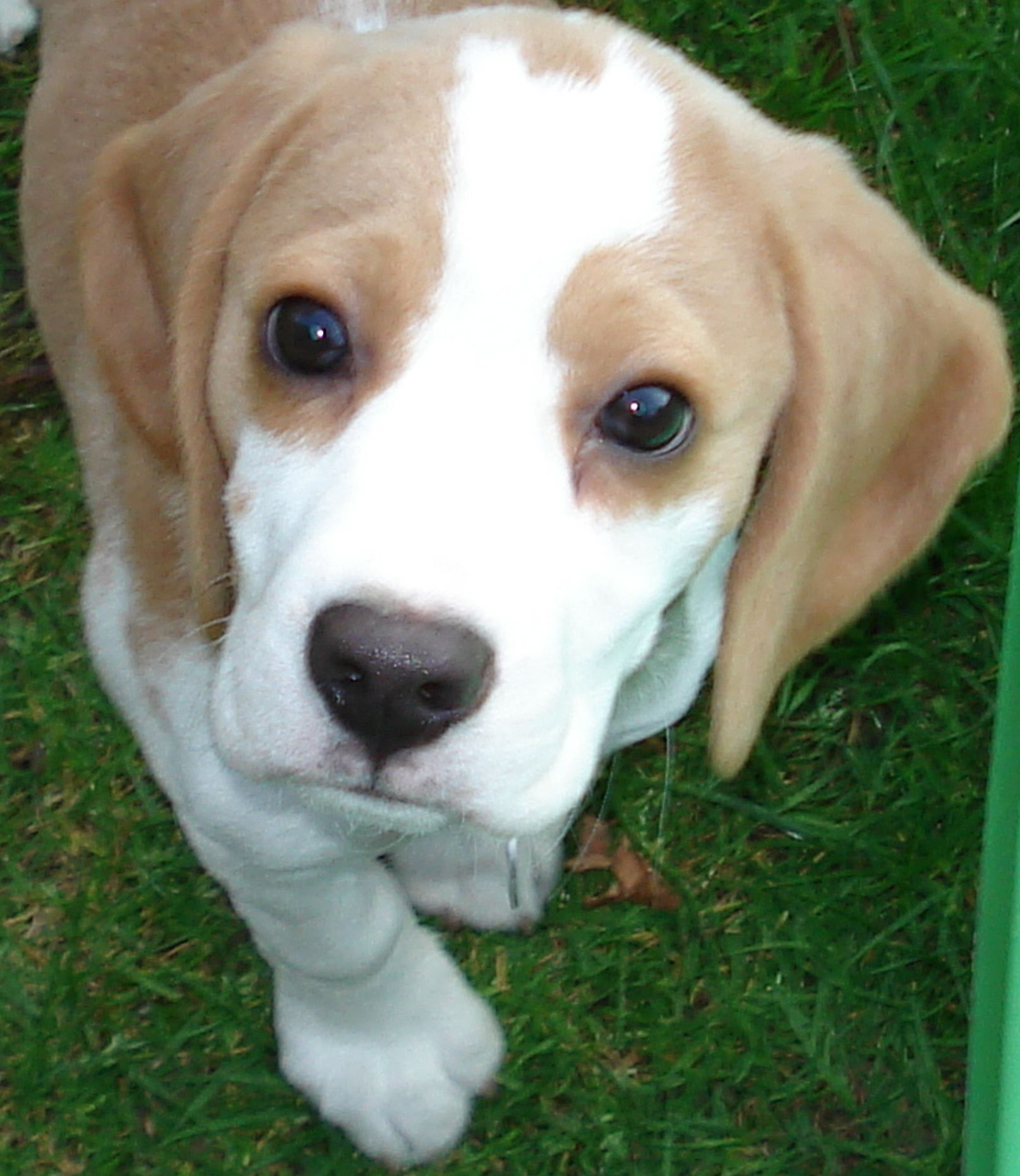 The Beagle Is A Breed Of Hunting Dog That Has Been A Popular Human Companion For Centuries The Dog Is One Of The Beagle Puppy Lemon Beagle Puppy Lemon Beagle