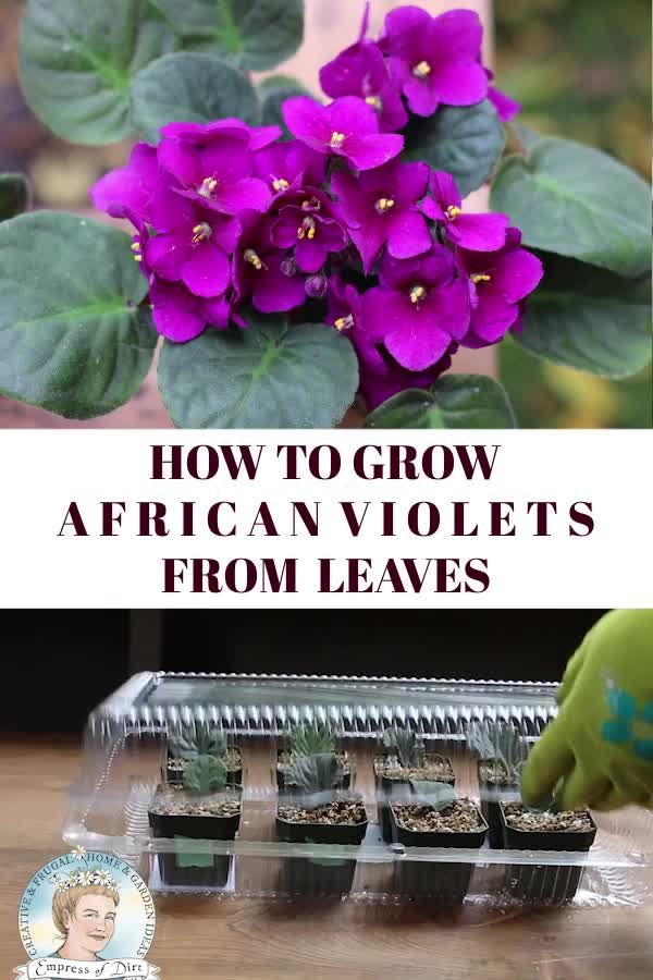 Quick and easy tutorial to grow more African violets from the ones you have by propagating leaves. #africanviolets#propagation #houseplants#empressofdirt
