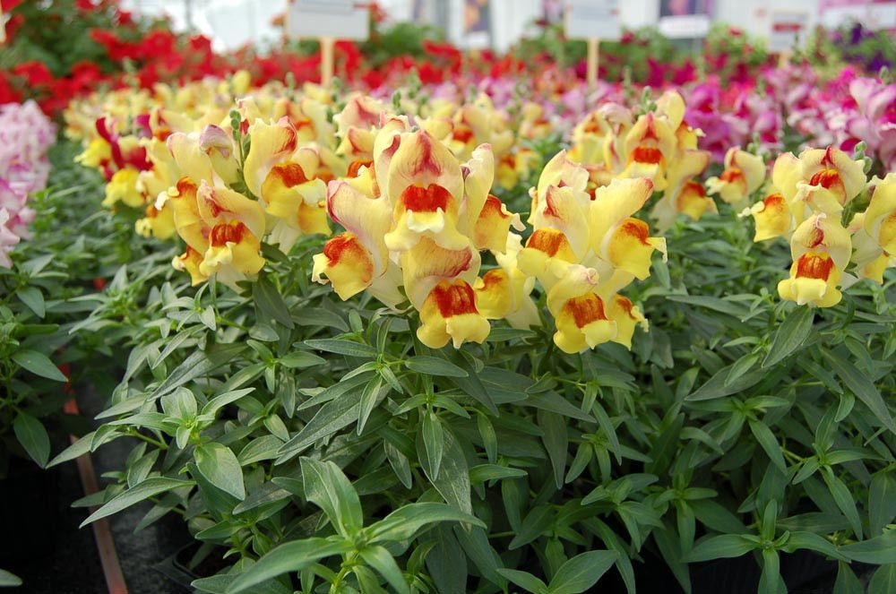 Snapdragon Flower Seeds Snappy Peach Flame Snapdragon