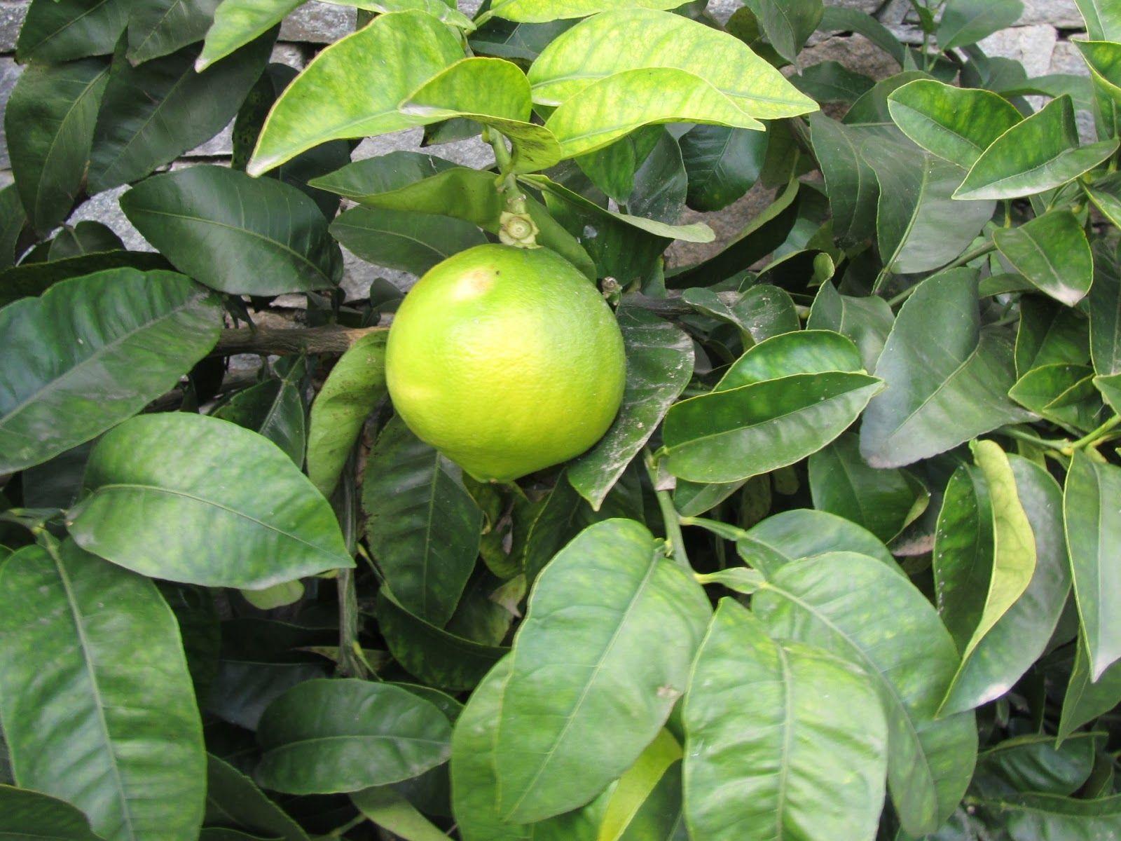 Come Piantare Il Mango come coltivare il pomelo (citrus maxima)? dove può crescere