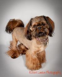 Adopt DAKOTA on Shih tzu, Shih tzu puppy, Shih tzu dog