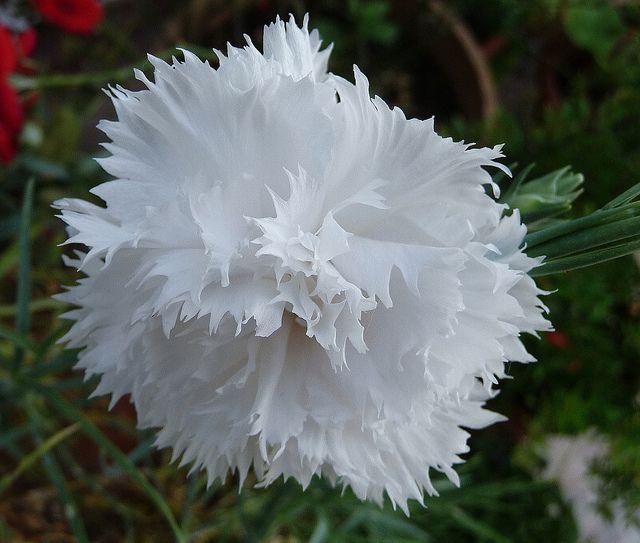 Clavel blanco <3