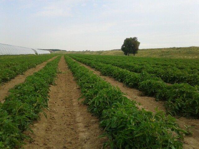 Processing tomato in Viadana, Mn, Italy