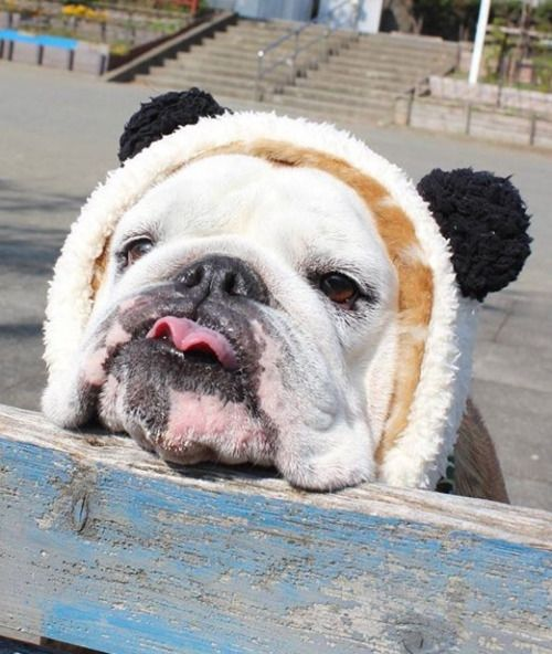 I Rsquo M A Panda Hellip With A Heavy Head Really Cute Dogs