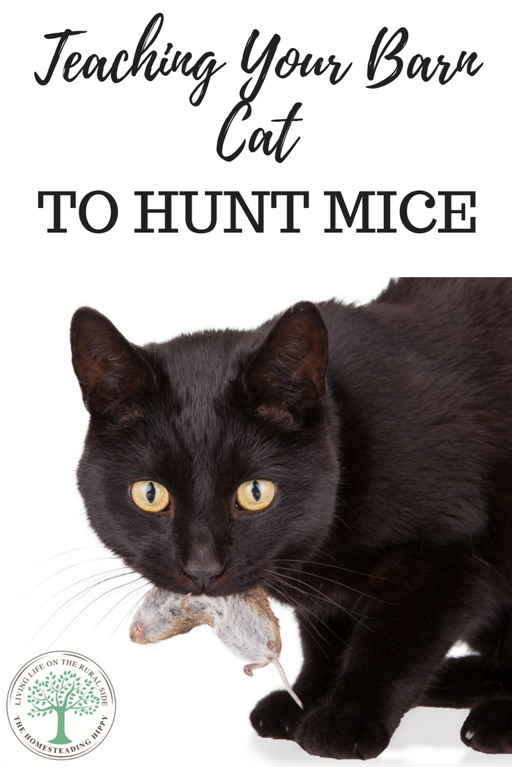 How To Get Your Barn Cat To Hunt Mice The Homesteading Hippy Cat Training Cats Cat Shelter