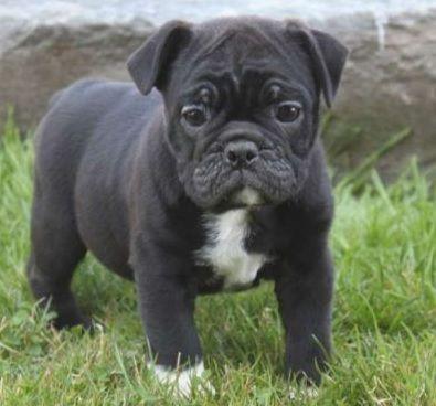 Pug Cross Breeds List Hybrid Dogs Miniature Dog Breeds Cute Pugs