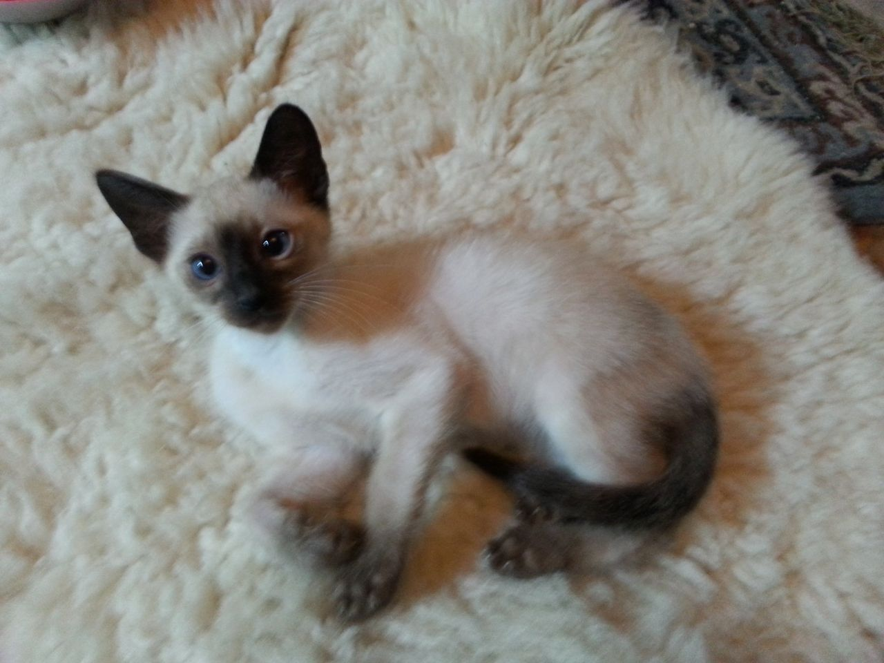 siamese cats | year ago For Sale Cats Bengal Wigan | Balinese Cat ...