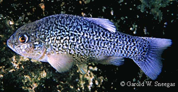 Male comanche springs pupfish this species is found only for Texas fish species