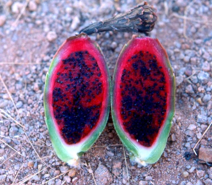 The Fruit On the Saguaro Cactus