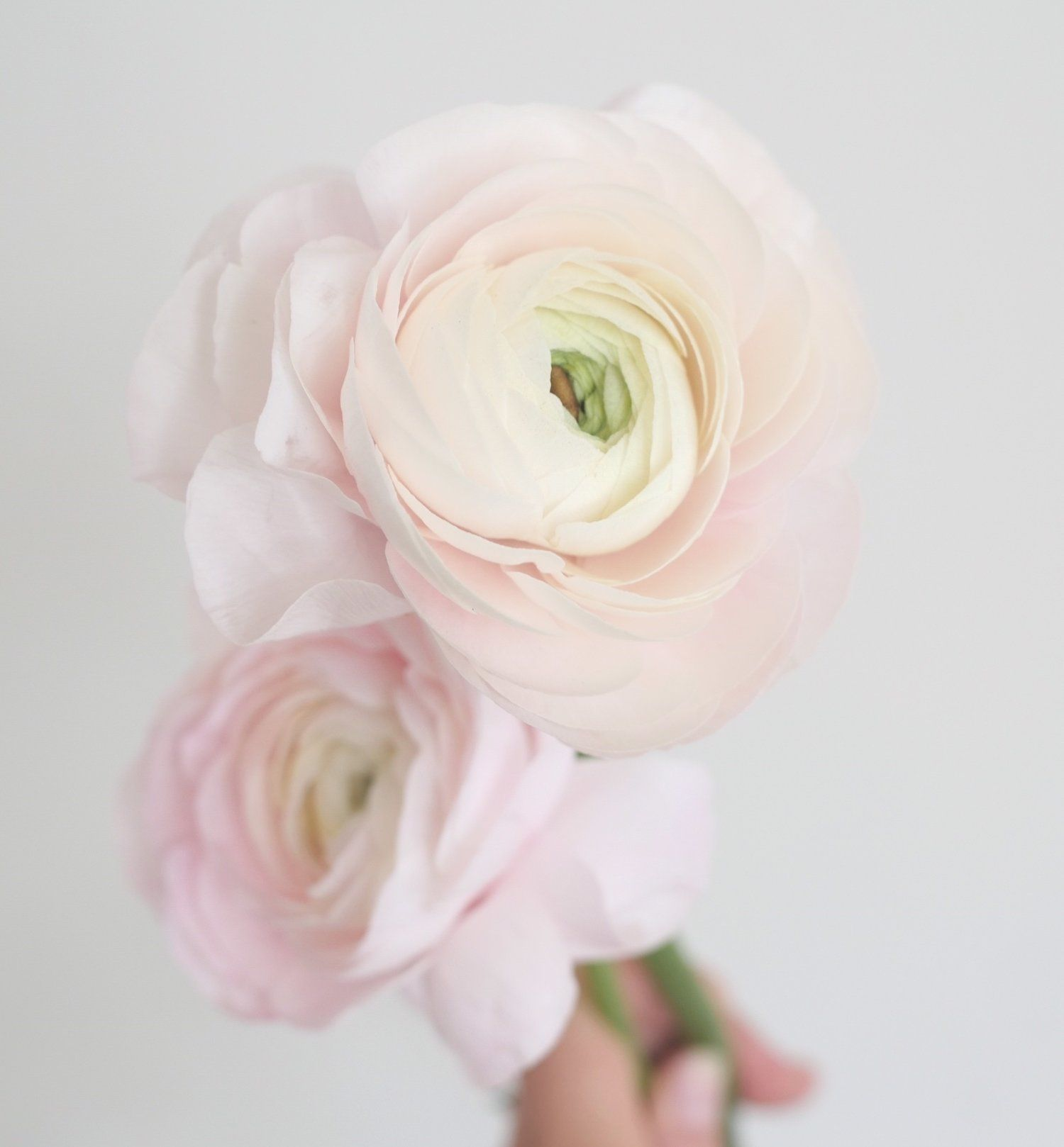 Blush Ranunculus For Wedding Floral Design Color Theory Collective Blush Pink Light Pink Bloom Flower Guide Unique Wedding Flowers Cheap Wedding Flowers