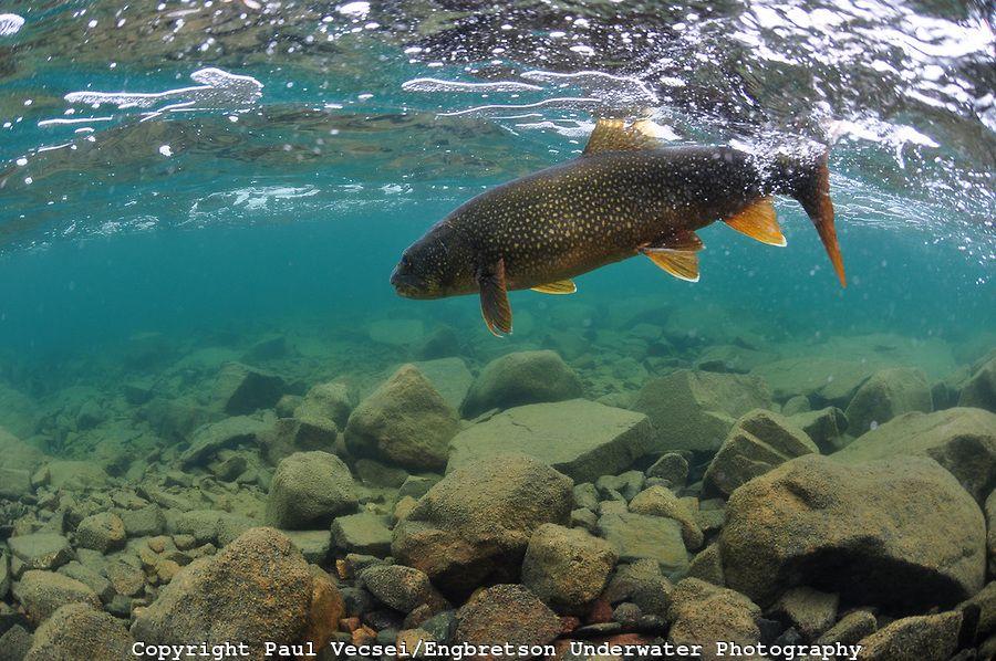 Lake Trout PAUL VECSE/ENGBRETSON UNDERWATER PHOTO | LAKE ...