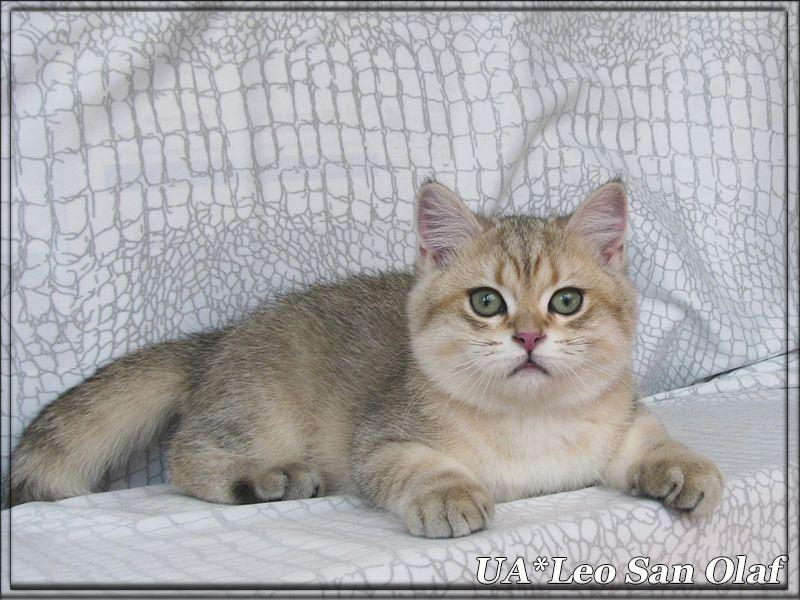 SOLD. UA*Leo San Olaf male BRI ny 11 date of birth 15.12.2014 mom - Violette MiracleBri ny 11 Father - Absolu Le Roi Soleil ny 25   http://leosan.com.ua/ua*leo-san-olaf.html       #kitten for sale, #british shorthair, #felinology