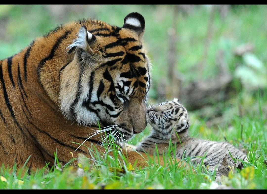 PHOTOS: Rare Tiger Cubs Make Their Debut | Tigers, Tiger ...