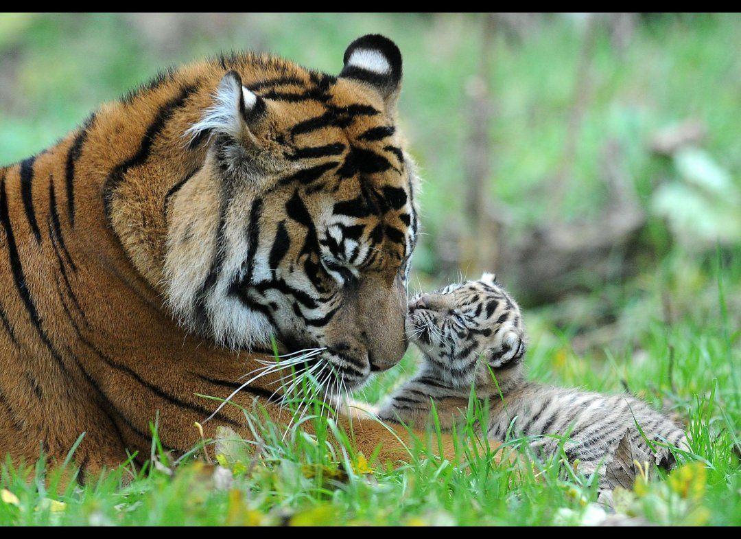 PHOTOS: Rare Tiger Cubs Make Their Debut | Tigers, Tiger ...