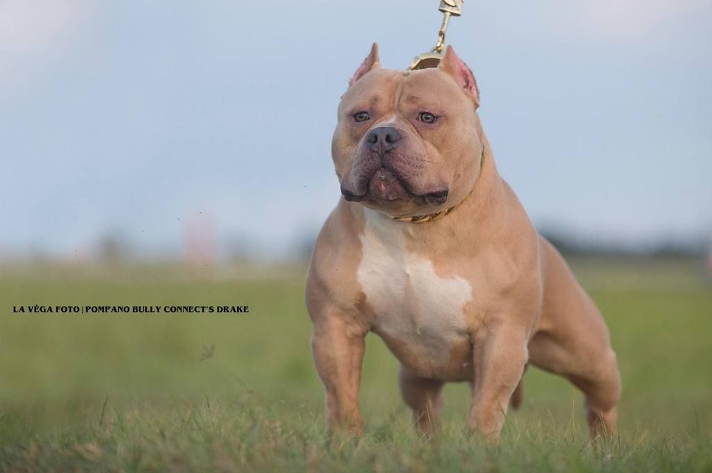 Productions Puppies Adults Produced In Past 12 Months Stud Dog American Bully Bully Breeds