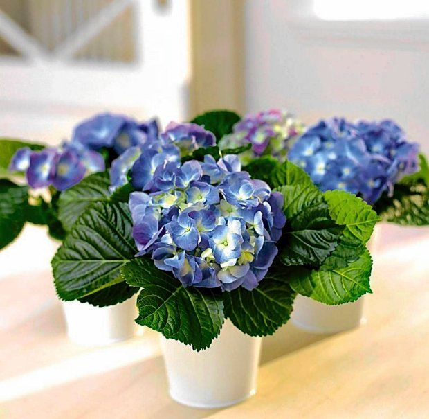 Kwiaty Doniczkowe Najpiekniejsze W Maju Hortensja Nature